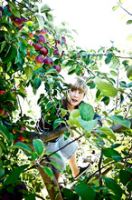 A Boy Searches For Just The Righ Apple High Up In A Tree