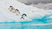 Gentoo Penguins, Neko Harbour,...
