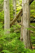 Cedar Trees Along Avalanche Creek, Glacier National Park, Montana