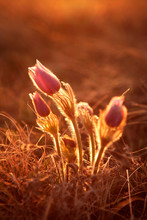 Sun Sets On A Prairie Crocus (Anemone Patens) In The Rolling Porcupine Hills, Southern Alberta.