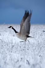 Canadian Geese (Branta Canaden...