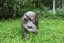 Tapir (Tapirus Terrestris), At...