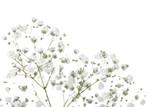 Łyszczec kwiaty na białym tle - 257488937