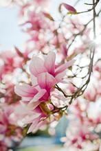 Magnolia Blooms In Springtime In Rhode Island
