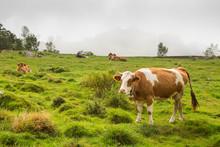 Cows In Alpine Meadow Near Mou...