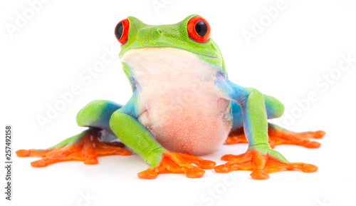 Red eyed monkey tree frog, Agalychnis callydrias Poster Mural XXL