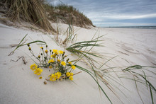 Grass And Flowers Om Sand Dune...