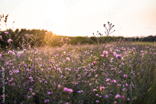 Thistles in meadow at sunset - 257492740
