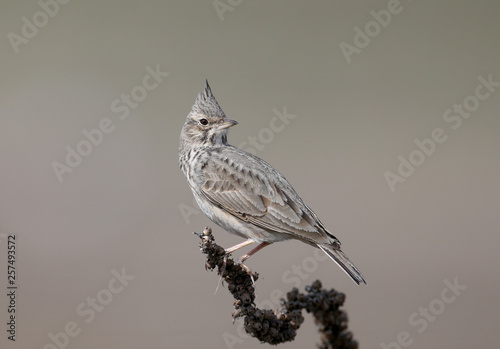 Very close-up portrait of a crested lark sitting on a dry branch on a beige blurred background Canvas-taulu