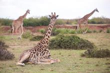 Group Of Three Giraffes, Masai Mara National Reserve, Kenya