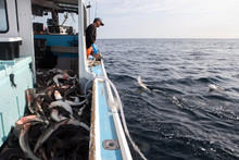 A Fisherman Catches Dog Fish.