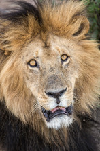 Lion (Panthera Leo) Looking At...