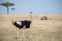 Male Ostrich (Struthio Camelus...