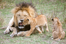 Male Lion Roaring At Cubs, Mas...