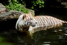 Beautiful White Tiger In The Jungle, Closeup Portrait