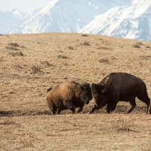 American Bison (buffalo) Engage In Sparring Behaviour