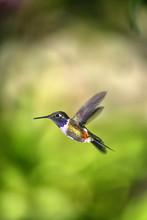 Purple-throated Woodstar -Calliphlox Mitchellii-, Hummingbird, In Flight In Its Natural Habitat, Tandayapa Region, Andean Cloud Forest, Ecuador