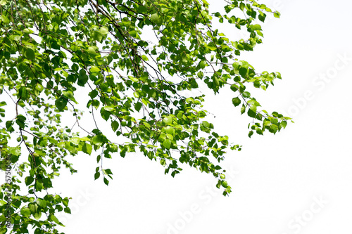 Fototapeta Birch twigs with the young green shining leaves hang down isolated obraz