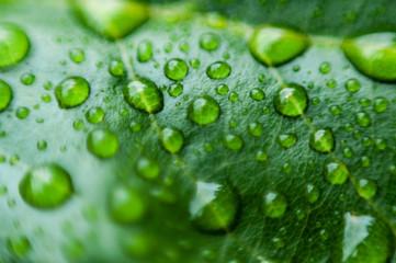 Woda na liściach po deszczu.