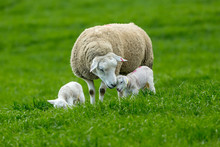 Texel Ewe, (female Sheep) In Yorkshire, England At Lambing Time, With Twin Lambs.  Tender Moment Between Mum And Baby.  Landscape, Horizontal.