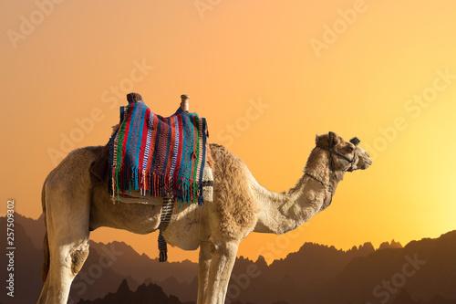 Keuken foto achterwand Kameel Silhouette dromedar camel on the background of the mountain of St. Moses, Egypt, Sinai