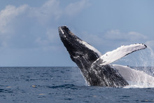 A Huge Humpback Whale, Megaptera Novaeangliae, Breaches Out Of The Blue Waters Of The Caribbean Sea.