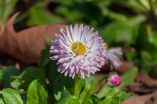 Close-up Of A Common Daisy (Be...