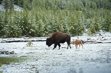 A Bison And Its Young In The Snow