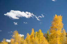 Yellow Aspen Trees In Autumn Under Blue Sky With Clouds, Aspen, Colorado, USA
