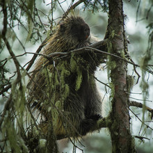Porcupine In Tree, Crested But...