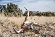 Cow Skull Lying On Grassy Plai...