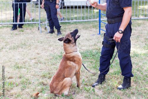 Fényképezés  Policeman with Belgian Malinois police dog
