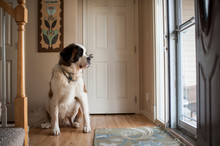 Large Saint Bernard Dog Sits While Looking Out Glass Door