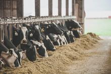 Cows Feeding At Dairy Farm, Chilliwack, British Columbia, Canada