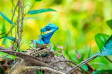 Blue Lizard Perching On Rock