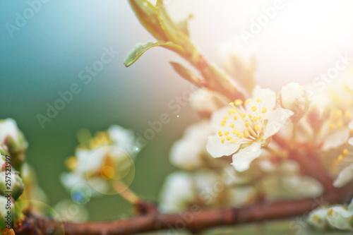 Fotografia, Obraz  Flowers of Cherry plum or Myrobalan Prunus cerasifera blooming in spring on the branches
