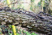 A Fallen Dead Tree With Dead Ivy Vines And Growths Of Bracket Fungi (Trametes Versicolor)