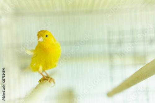 Canary Obraz na płótnie