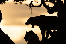 Silhouette Of Lioness (Panther...