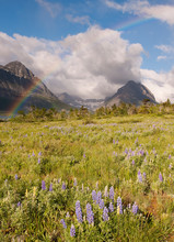 Rainbow And Wildflowers, Glacier National Park