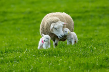 Texel Ewe (female Sheep) With ...
