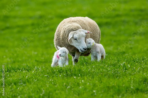 Valokuva Texel ewe (female sheep) with twin, newborn lambs, in lush green meadow