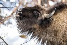 Headshot Of European Bison (Bison Bonasus), Armenis, Caras-Severin, Romania