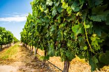 Grapes At Vineyard In Mendoza,...