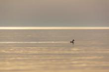 Duck Floating On Water At Sunrise, Gland, Vaud Canton, Switzerland