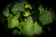 Grapes At Vineyard In Mendoza,...