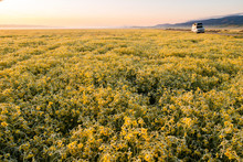Field Of Yellow Wildflowers,?Carrizo?Plain National Monument, California, USA