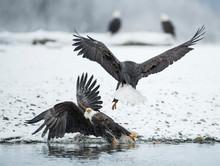 Two Bald Eagles?(Haliaeetus?leucocephalus) Fighting