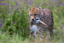 Cheetah (Acinonyx Jubatus) Wit...