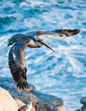 Brown Pelican (Pelecanus Occidentalis) On California Coast